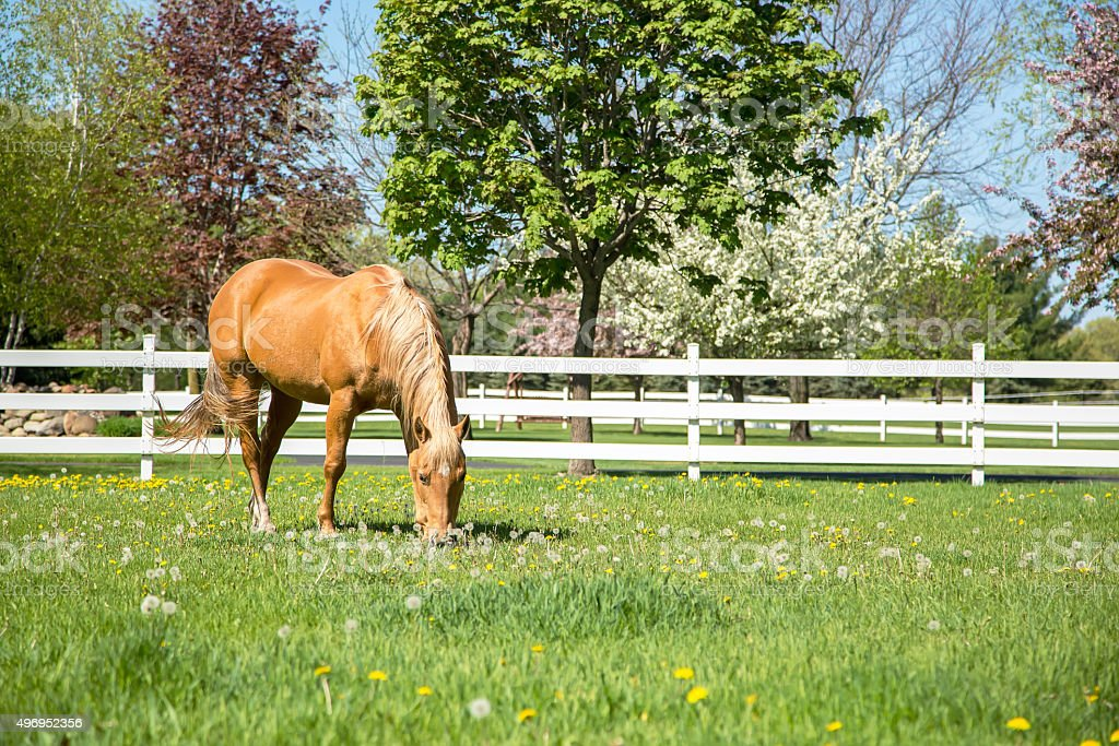 Palomino Quarter Horse Grazing in Springtime Pasture stock photo