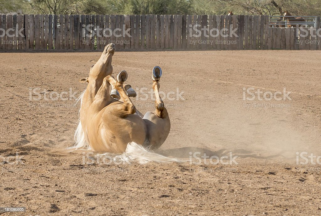 Palomino rolling in dust royalty-free stock photo