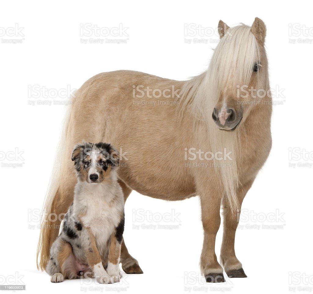 Palomino Shetland pony and Australian Shepherd puppy,  white background. stock photo