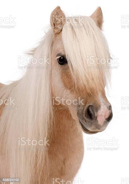 Palomino shetland pony equus caballus 3 years old picture id538024102?b=1&k=6&m=538024102&s=612x612&h=lvaa2qo runvuj 8zkevnblbxc6m u039phawejxaky=