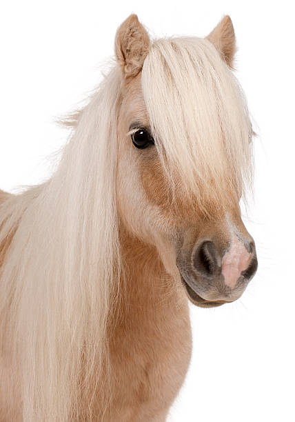 Palomino shetland pony equus caballus 3 years old picture id538024102?b=1&k=6&m=538024102&s=612x612&w=0&h=kvpd1ibdfiqmyvrklgxkrpr71y asug1ubm86o7lyje=