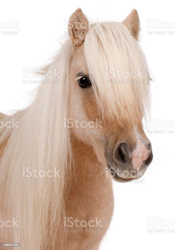 Palomino Shetland pony, Equus caballus, 3 years old, stock photo
