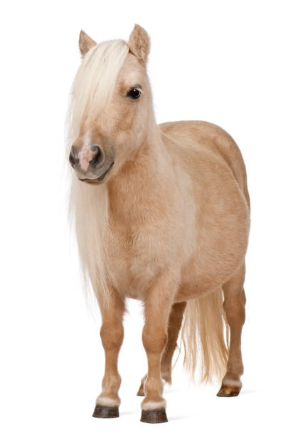 Palomino Shetland pony, Equus caballus, 3 years old, standing in front of white background Palomino Shetland pony, Equus caballus, 3 years old, standing in front of white background pony stock pictures, royalty-free photos & images