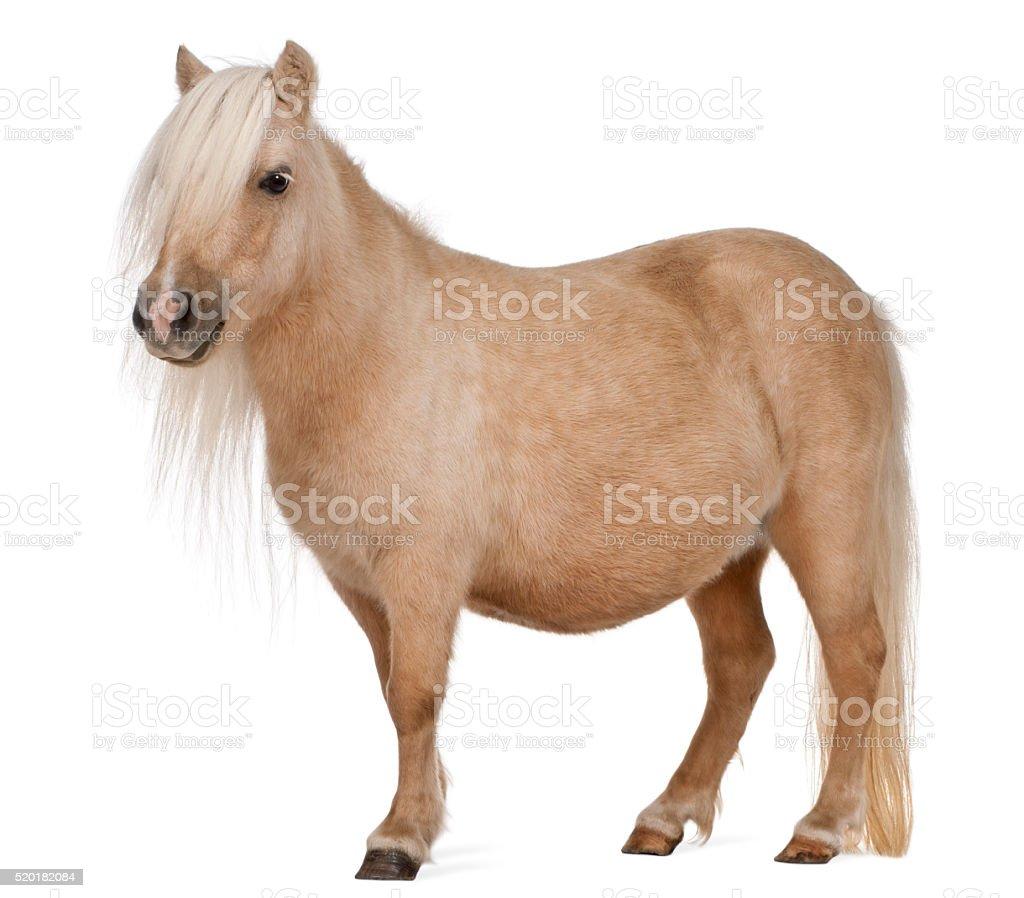 Palomino Shetland pony, Equus caballus, 3 years old, standing stock photo