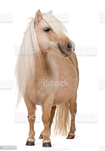 Palomino shetland pony equus caballus 3 years old standing picture id538028758?b=1&k=6&m=538028758&s=612x612&h=db5sk34uasy98us4c54tqx916pz4jgfezffbt1nn na=