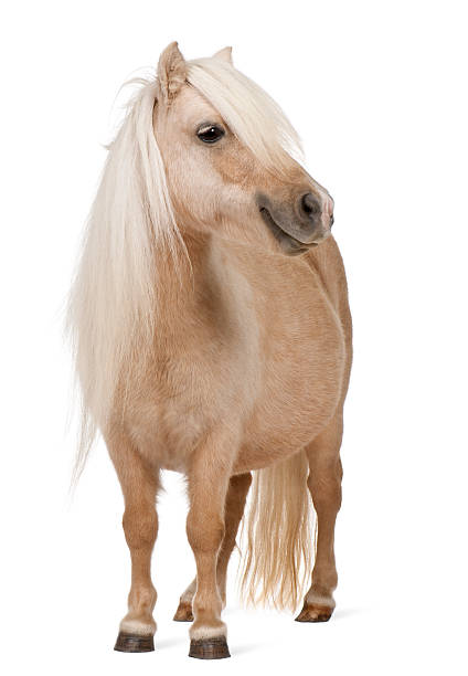 Palomino Shetland pony, Equus caballus, 3 years old, standing Palomino Shetland pony, Equus caballus, 3 years old, standing in front of white background pony stock pictures, royalty-free photos & images