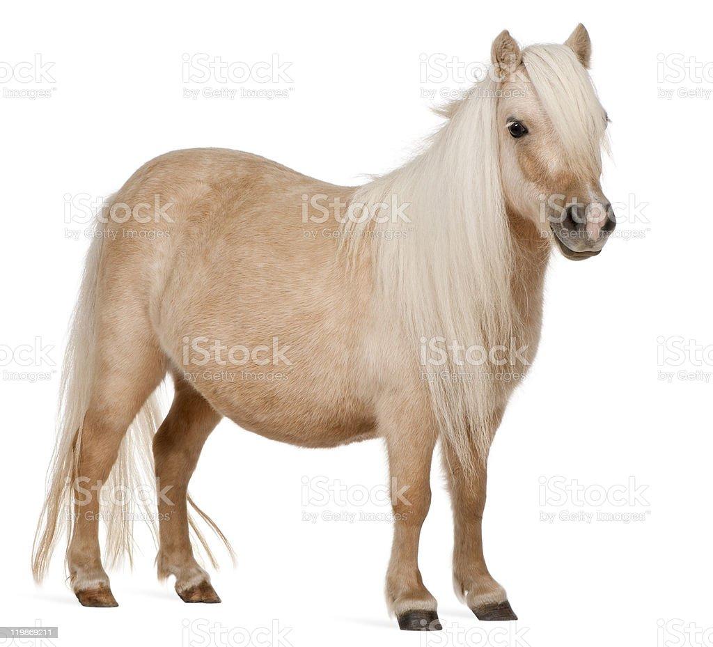 Palomino Shetland pony, Equus caballus, standing, white background. stock photo