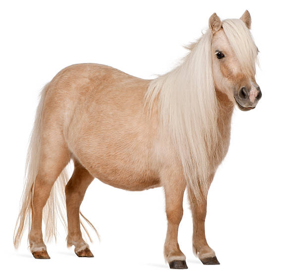 Palomino Shetland pony, Equus caballus, standing, white background.  pony stock pictures, royalty-free photos & images