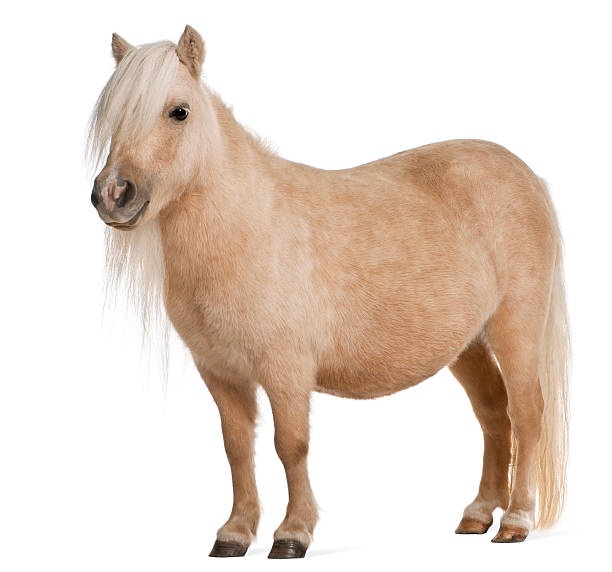 Palomino Shetland pony with long hair in it's face Palomino Shetland pony, Equus caballus, 3 years old, standing in front of white background pony stock pictures, royalty-free photos & images