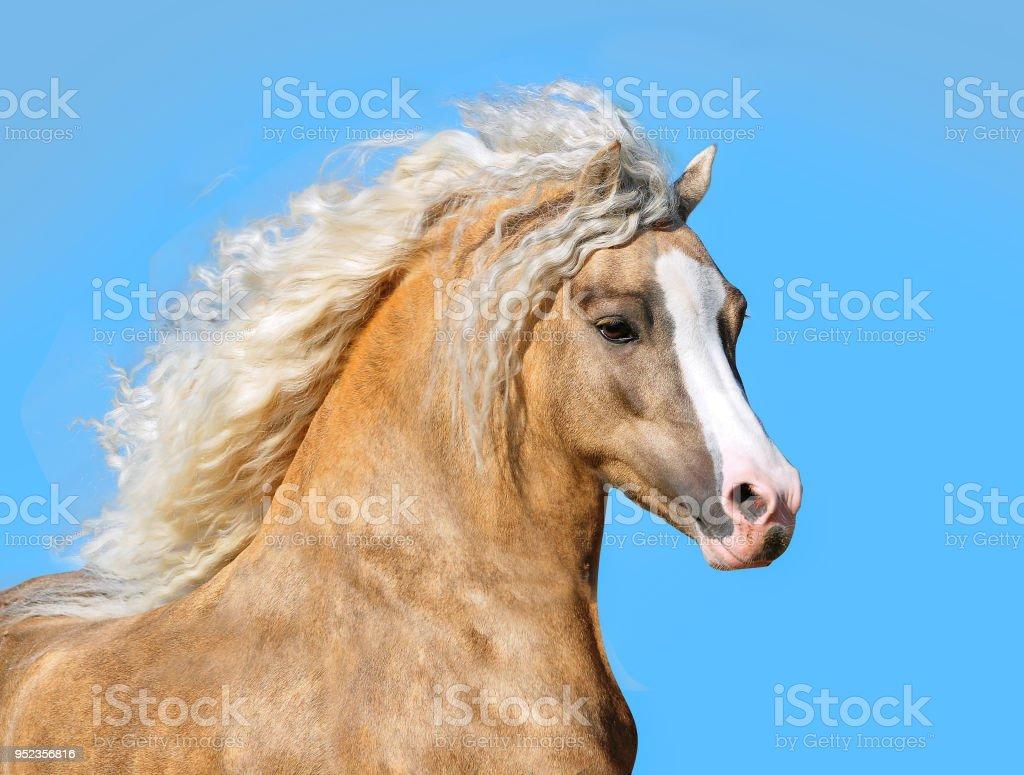 palomino welsh pony with long mane portrait closeup
