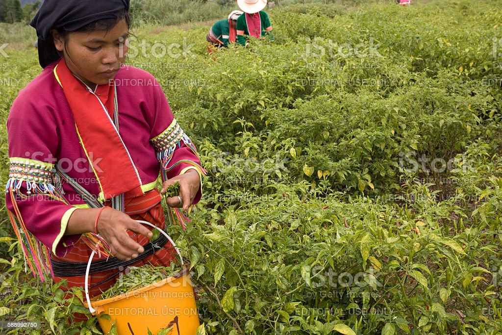 Palong ethnic group harvesting chili peppers in the fields. stock photo