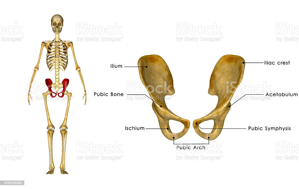 Palvic hip Girdle stock photo
