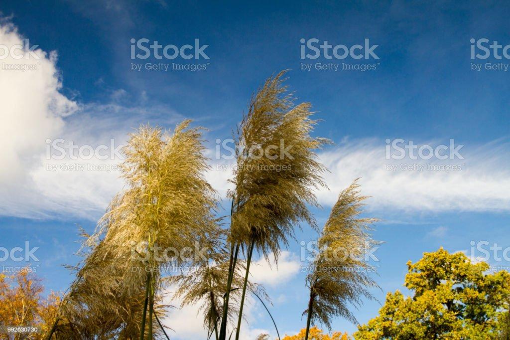 Pampas grass against a blue sky stock photo