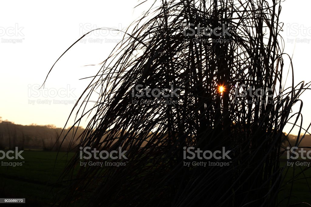 Pampas Grass Background stock photo