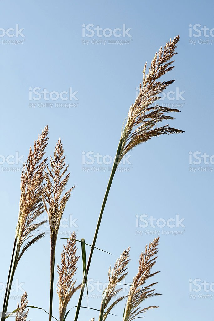 Pampas grass, blue sky, vertical, with copy space. royalty-free stock photo