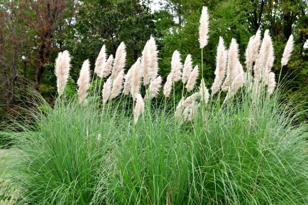 Pampas Grass / Cortaderia selloana stock photo