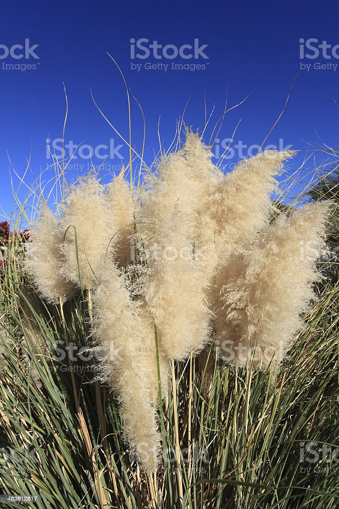 Pampas Grass Featured royalty-free stock photo