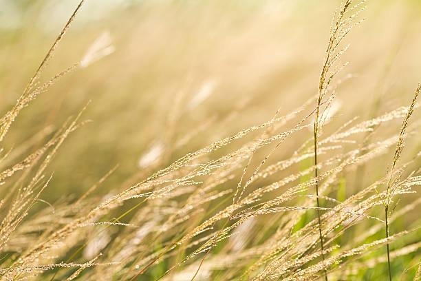pampas grass  field against sunlight stock photo