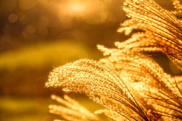 Pampas Grass in Golden Glow Hour