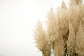 Pampas grass on isolated background
