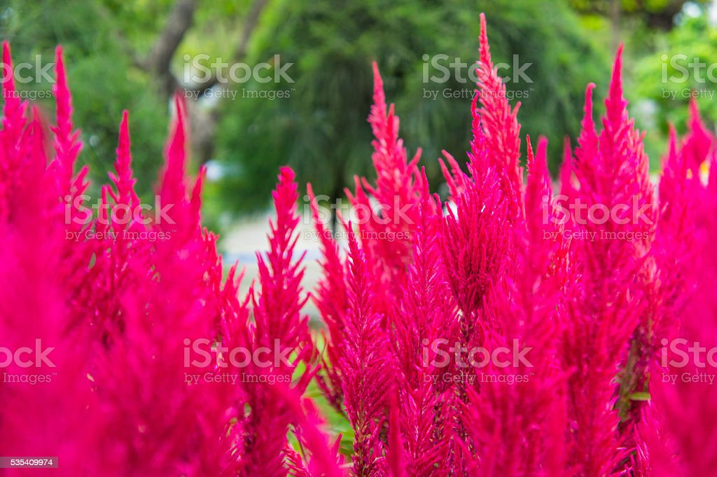 Pampas grass, ornamental, gynerium argenteum, with burgundy silky panicle. stock photo