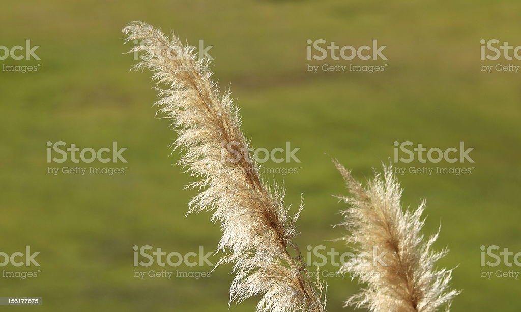 Pampas Grass royalty-free stock photo