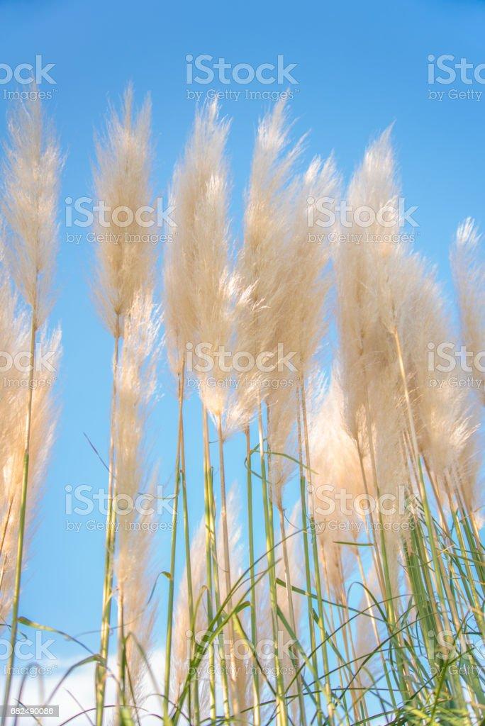 Pampas de hierba foto de stock libre de derechos