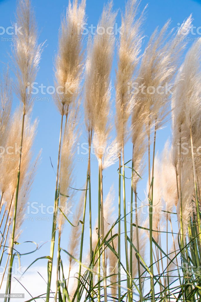 Pampas grass royalty-free stock photo