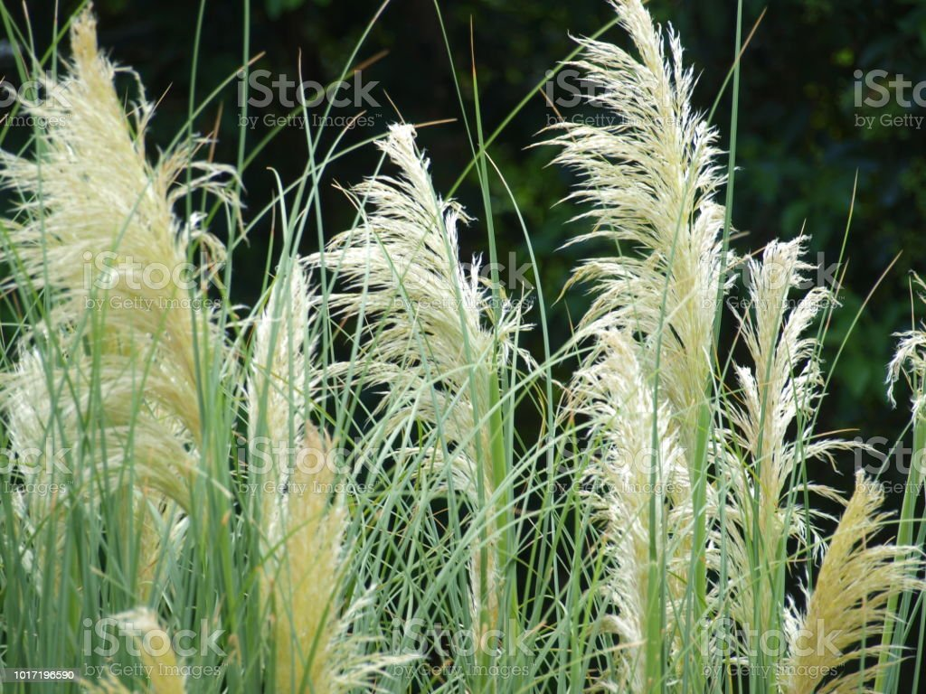Pampas Grass Tales Root with Landscapers stock photo