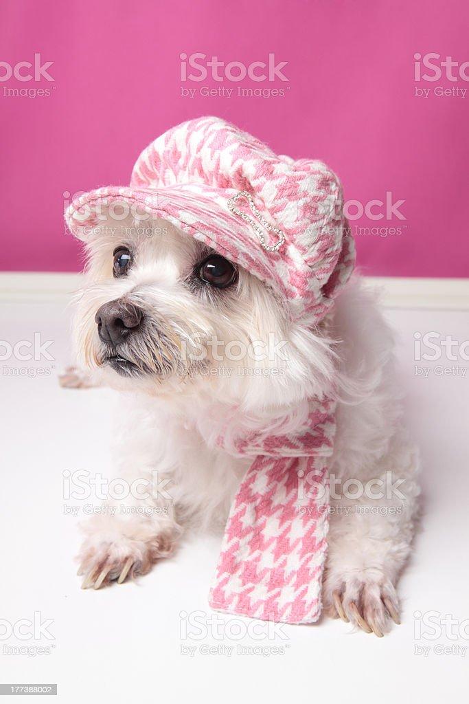 Pampered maltese terrier stock photo