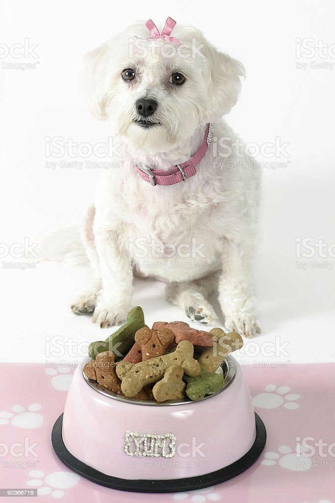 Pampered Maltese terrier pooch royalty-free stock photo