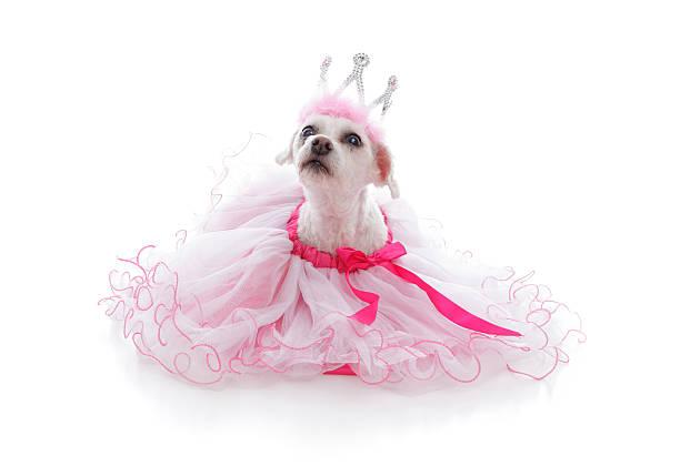 verwöhnte prinzessin oder ballerina haustier - prinzessin tiara stock-fotos und bilder