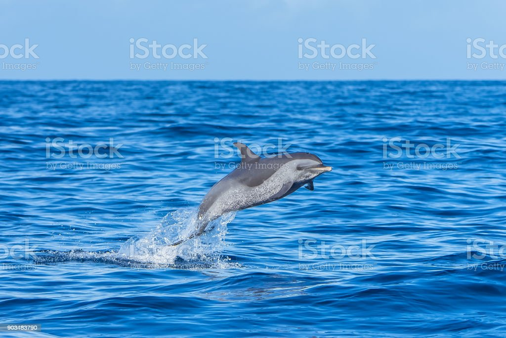 Pan tropical spotted dolphin, dolphin stock photo