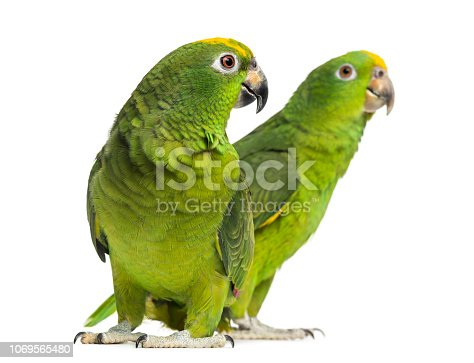 Panama Amazon and Yellow-crowned Amazon isolated on white