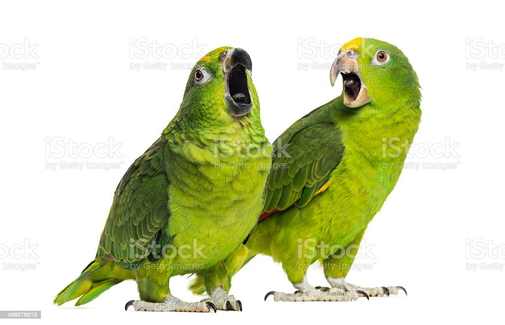 Panama and Yellow-crowned Amazon isolated royalty-free stock photo