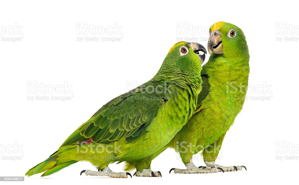 Panama and Yellow-crowned Amazon isolated stock photo