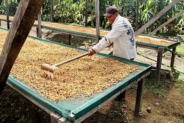 Panama Coffee Plantation Santa Clara, Panama - December 21, 2013 :    central america stock pictures, royalty-free photos & images