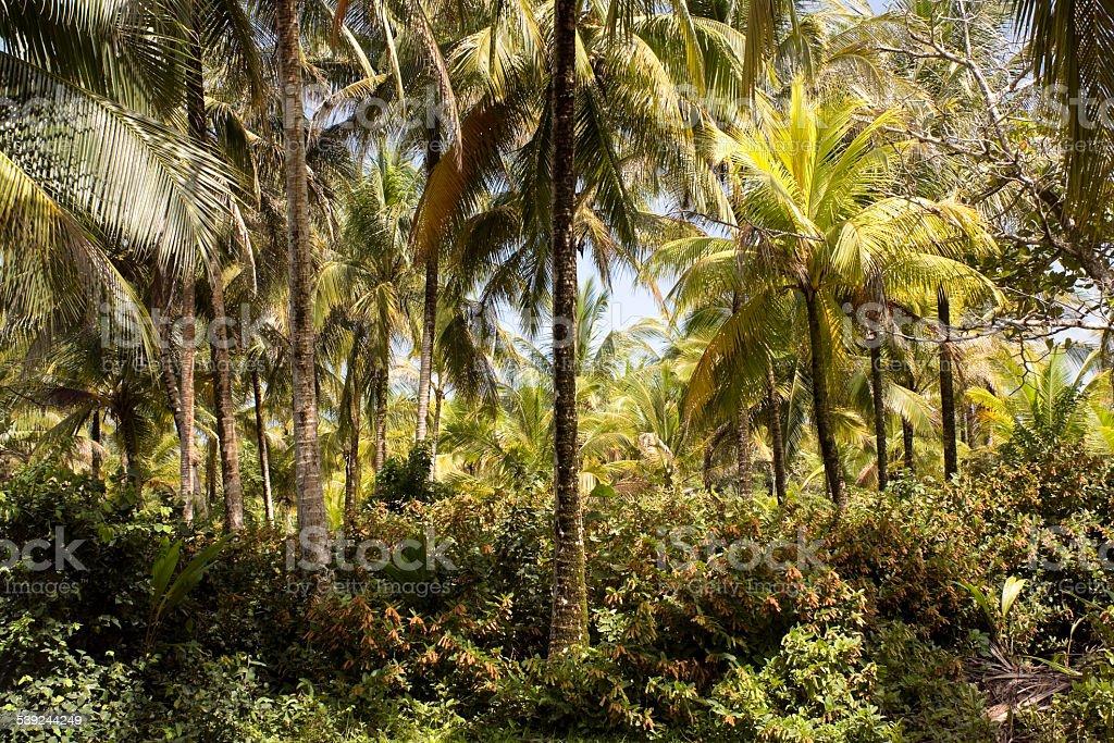 Panameño jungle foto de stock libre de derechos