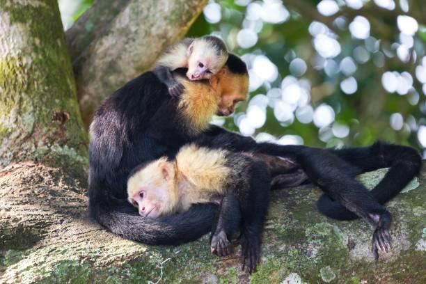 Panamanian White Headed Capuchin Monkey (Cebus Imitator) Family resting on Tree in Costarica Manuel Antonio National Park stock photo