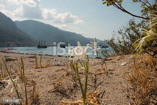 Pancratium maritimum, Hymenocallis, sea daffodil, white bulbous mediterranean plant in bloom in September