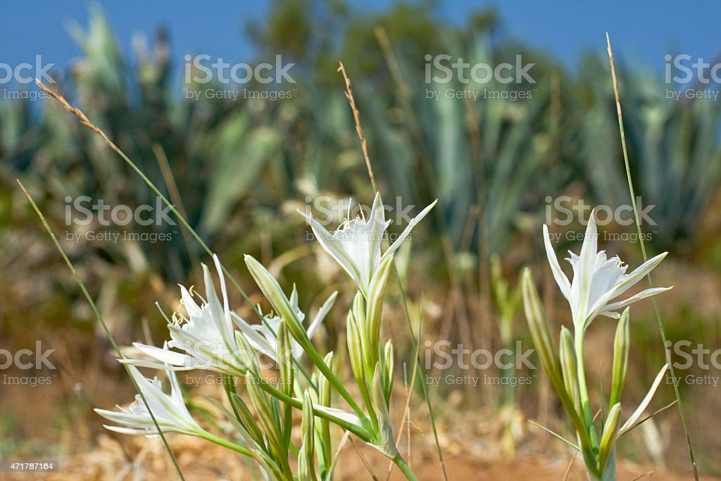 Pancratium sea or sea lily stock photo
