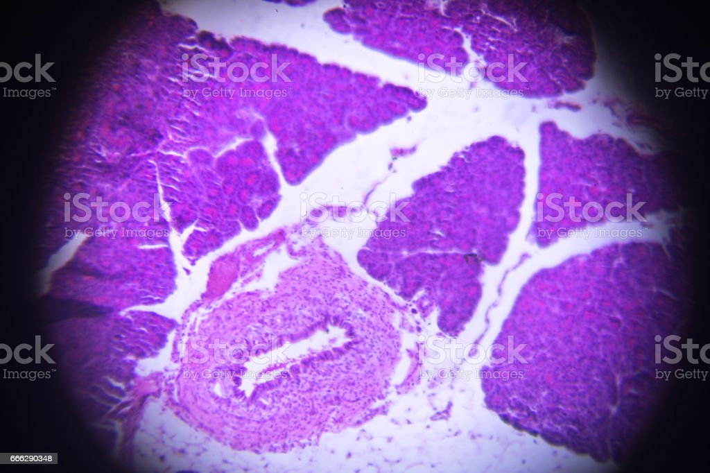 Bauchspeicheldrüse Querschnitt Im Mikroskop - Stockfoto   iStock