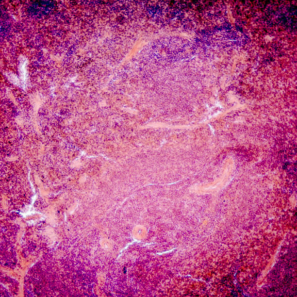 pancreas micrograph of pancreas tissue, typical pancreatic tissue  in the jejunum tissue islet of langerhans stock pictures, royalty-free photos & images
