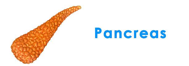 Pancreas stock photo