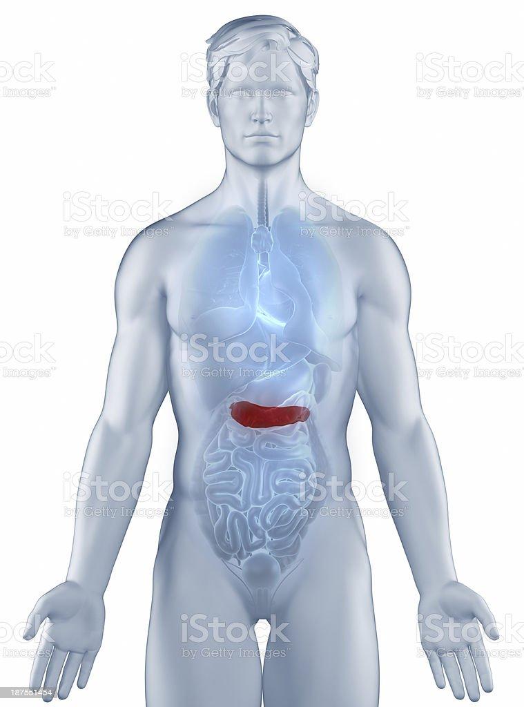 Pancreas position anatomy man isolated stock photo