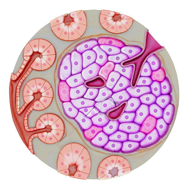 Pancreatic gland The pancreas is a glandular organ in the upper abdomen, but really it serves as two glands in one: a digestive exocrine gland and a hormone-producing endocrine gland. islet of langerhans stock pictures, royalty-free photos & images