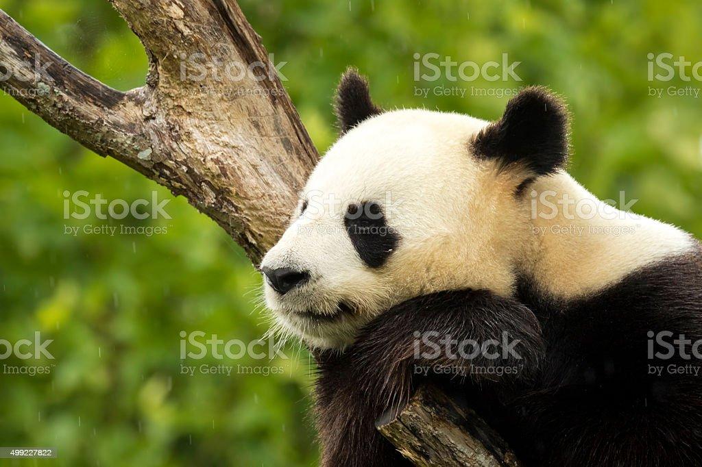 Panda asleep stock photo