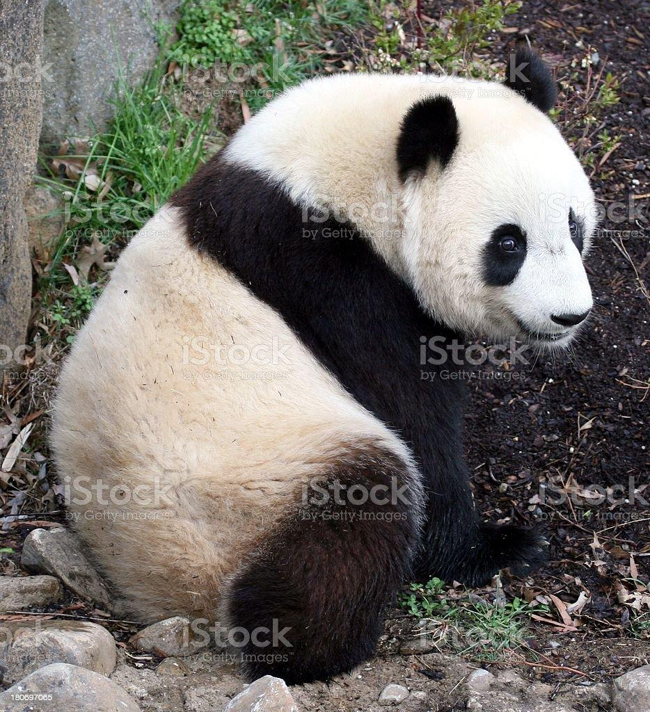 Panda at Rest royalty-free stock photo