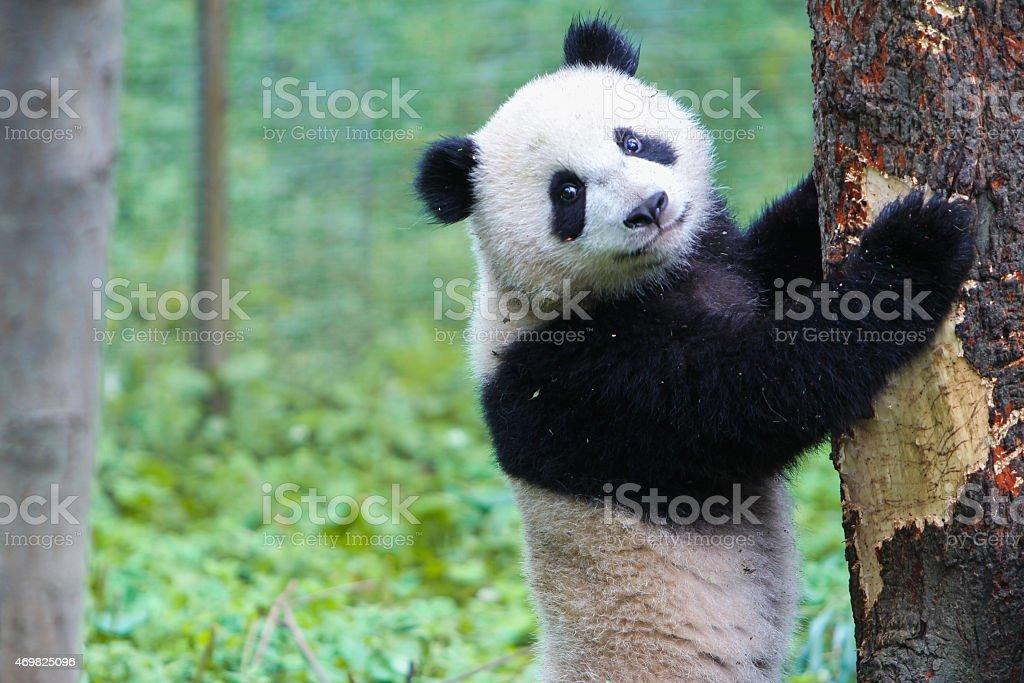 Panda Bear, China stock photo