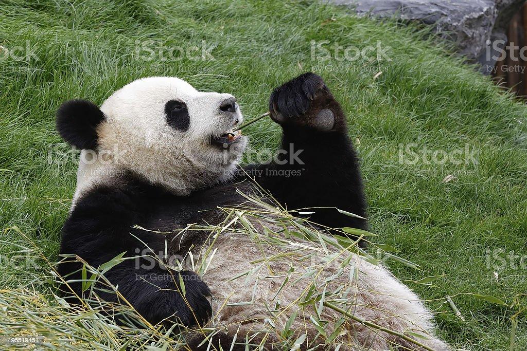 Panda bear eating bamboo stock photo